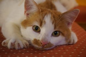 katt med klor